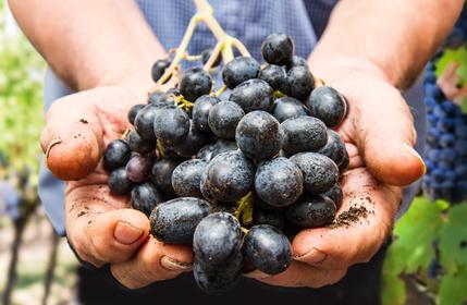 Viinirypäle, tumma, luomu  n. 500g